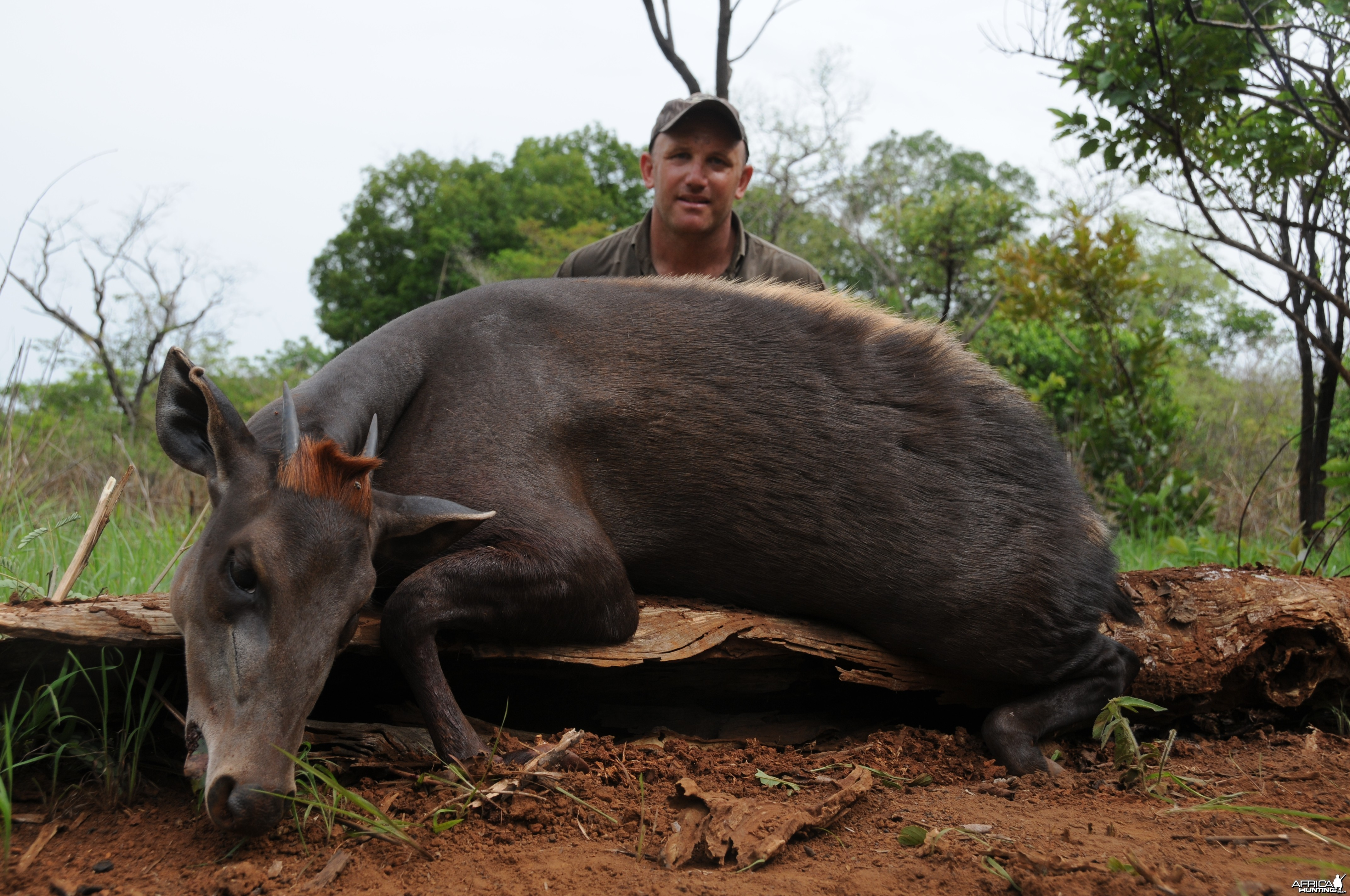 Yellow Back Duiker hunt with CAWA in CAR