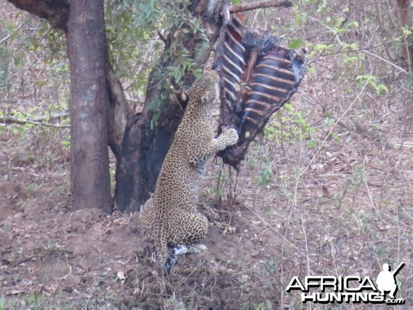 Leopard on bait in CAR