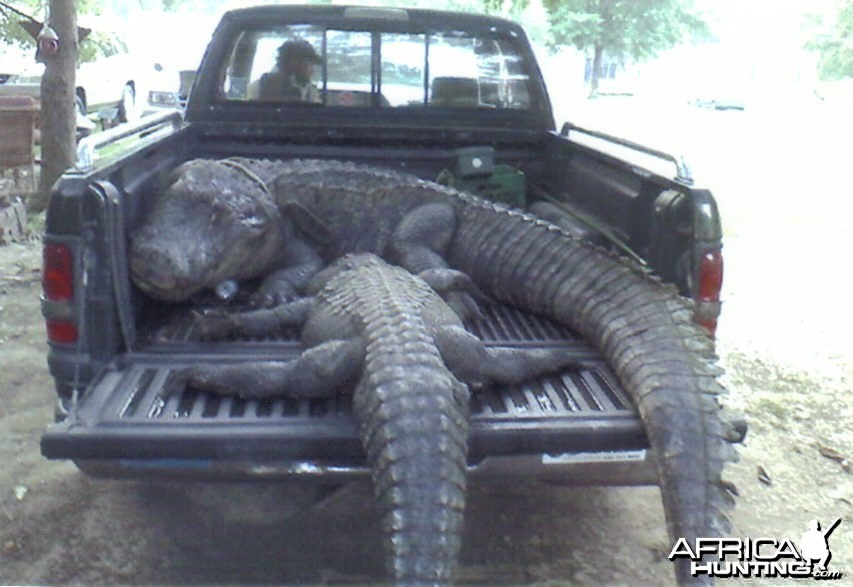 LOUISIANA'S LARGEST ALLIGATOR