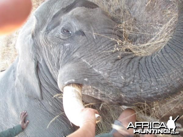 57 Lb. Botswana Elephant 2013