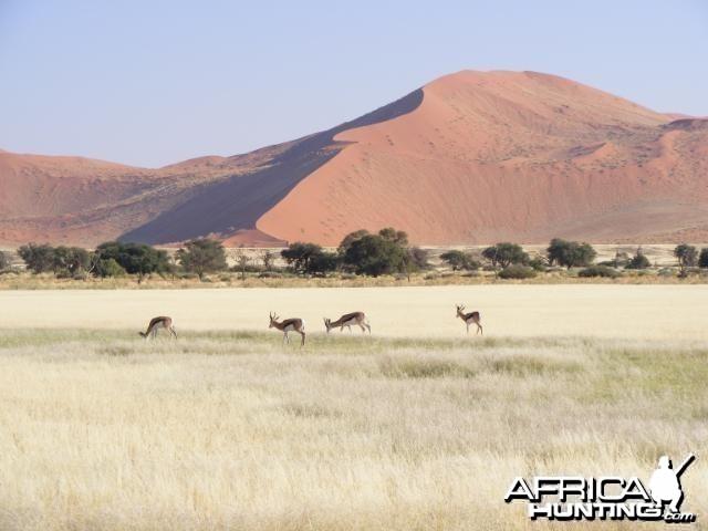 Springbok at Sossusvlei Namibia