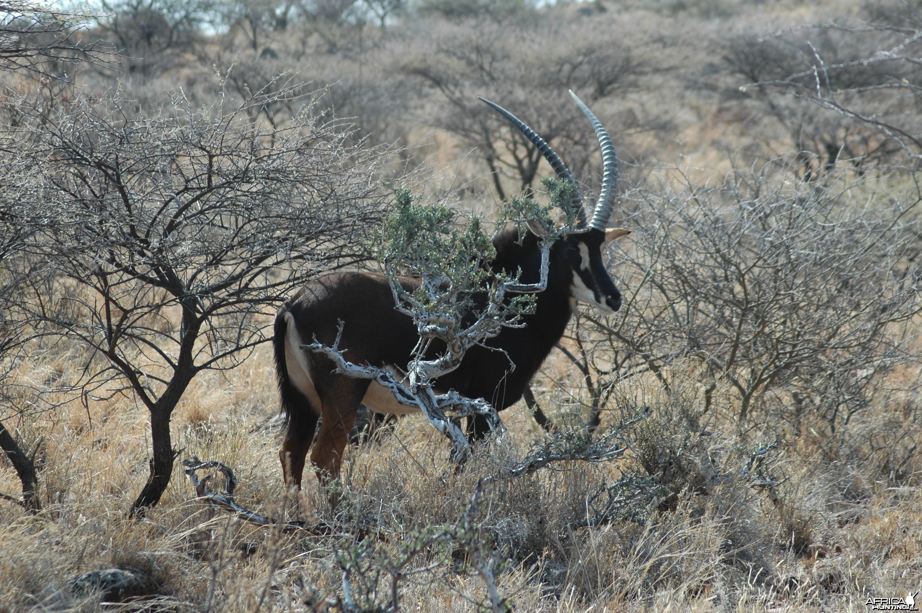 Sable bull at Wintershoek