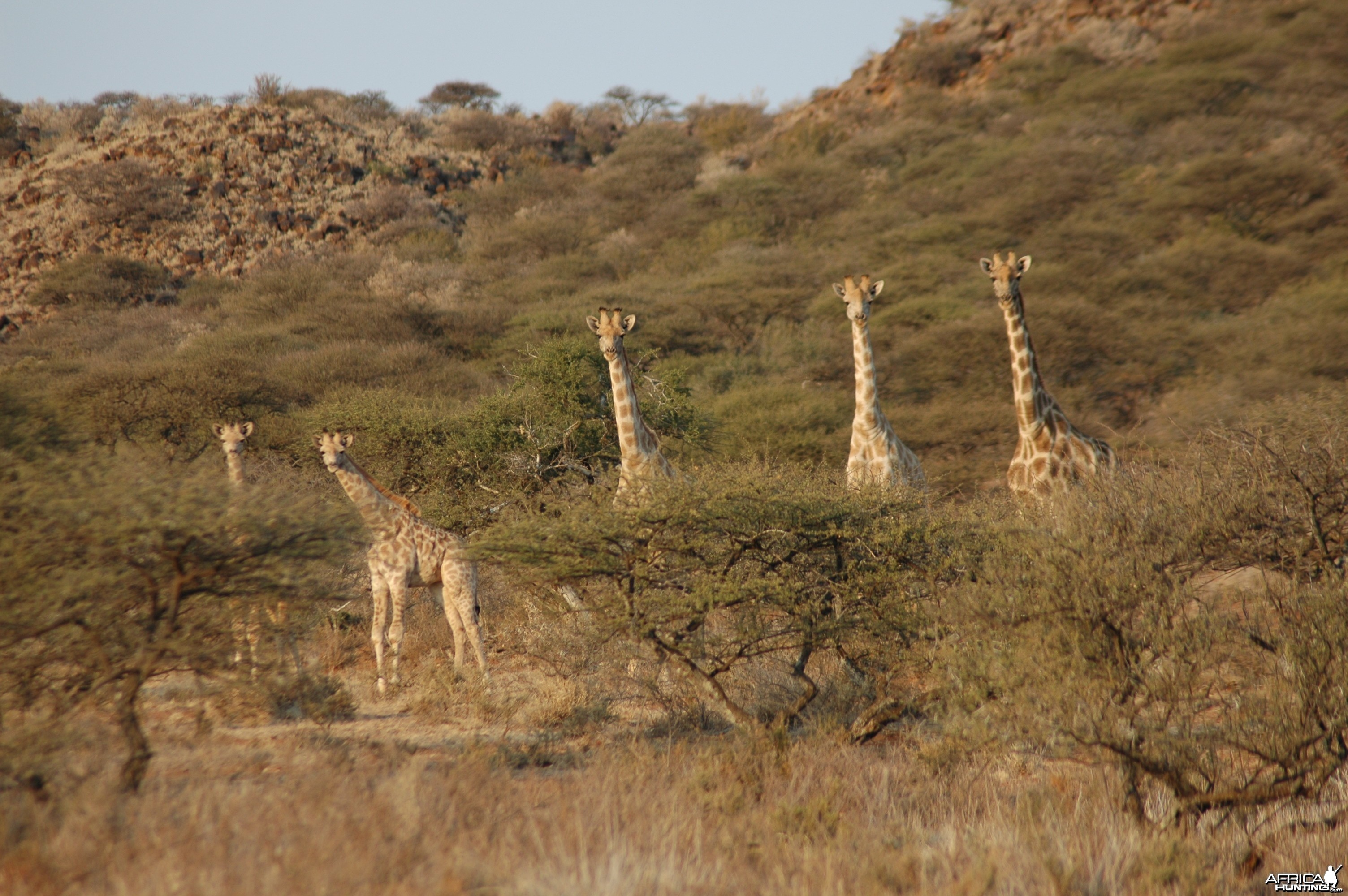 Giraffes at Wintershoek
