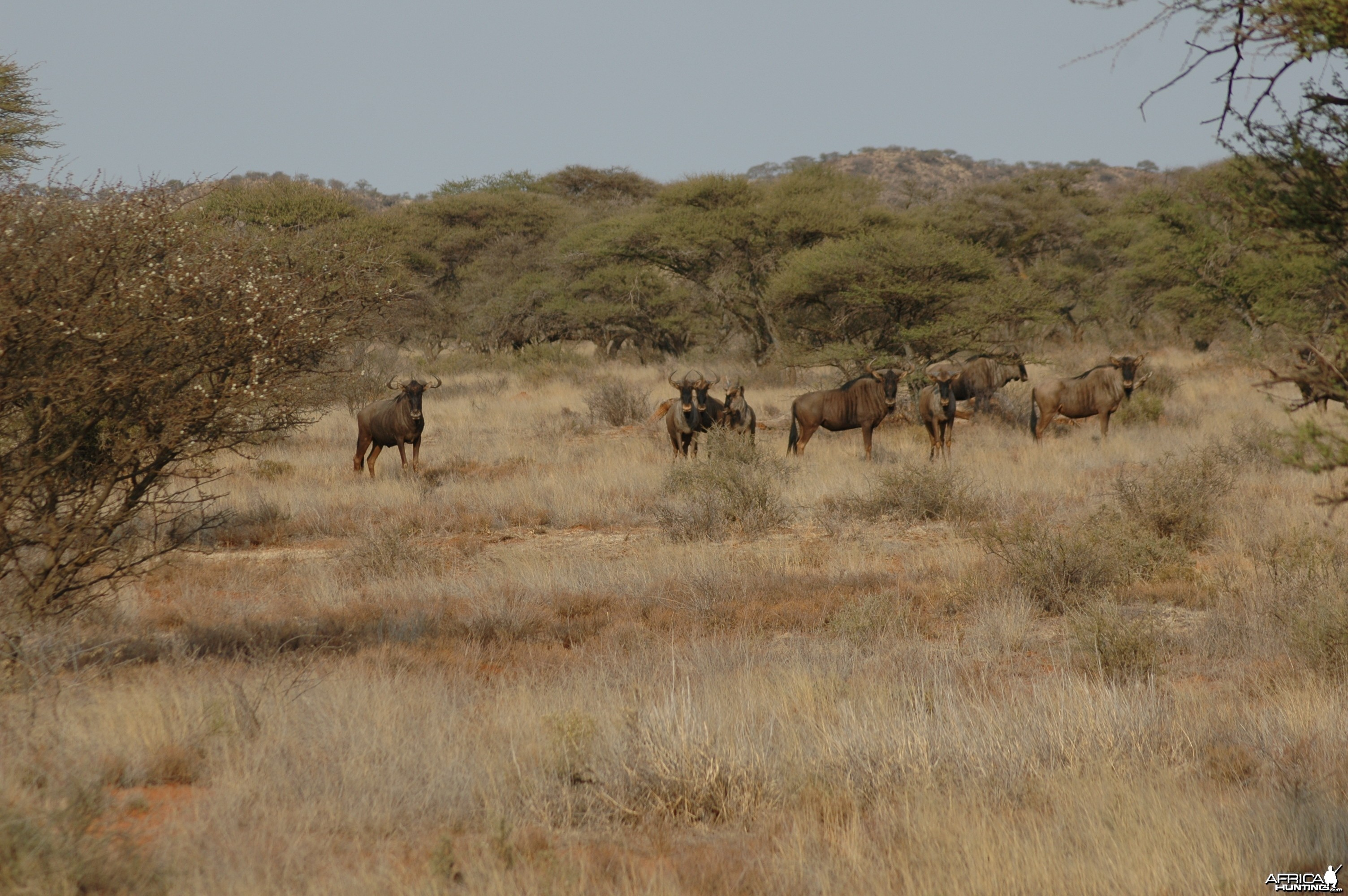 Blue Wildebeest at Wintershoek
