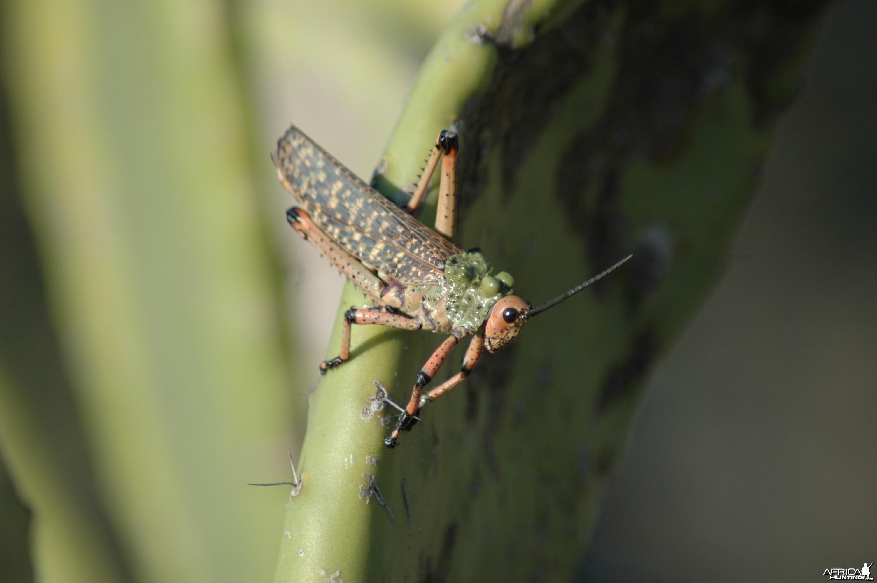 """3"""" long African Grasshopper"""