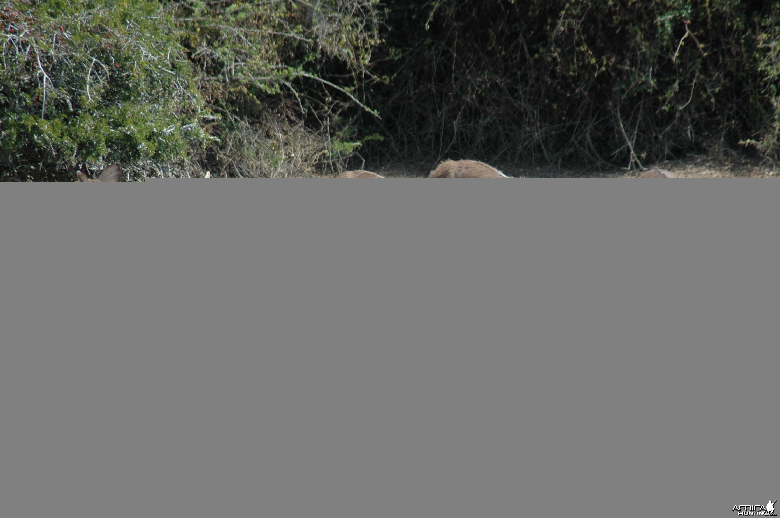 Kudus at pond, Eastern Cape, South Africa