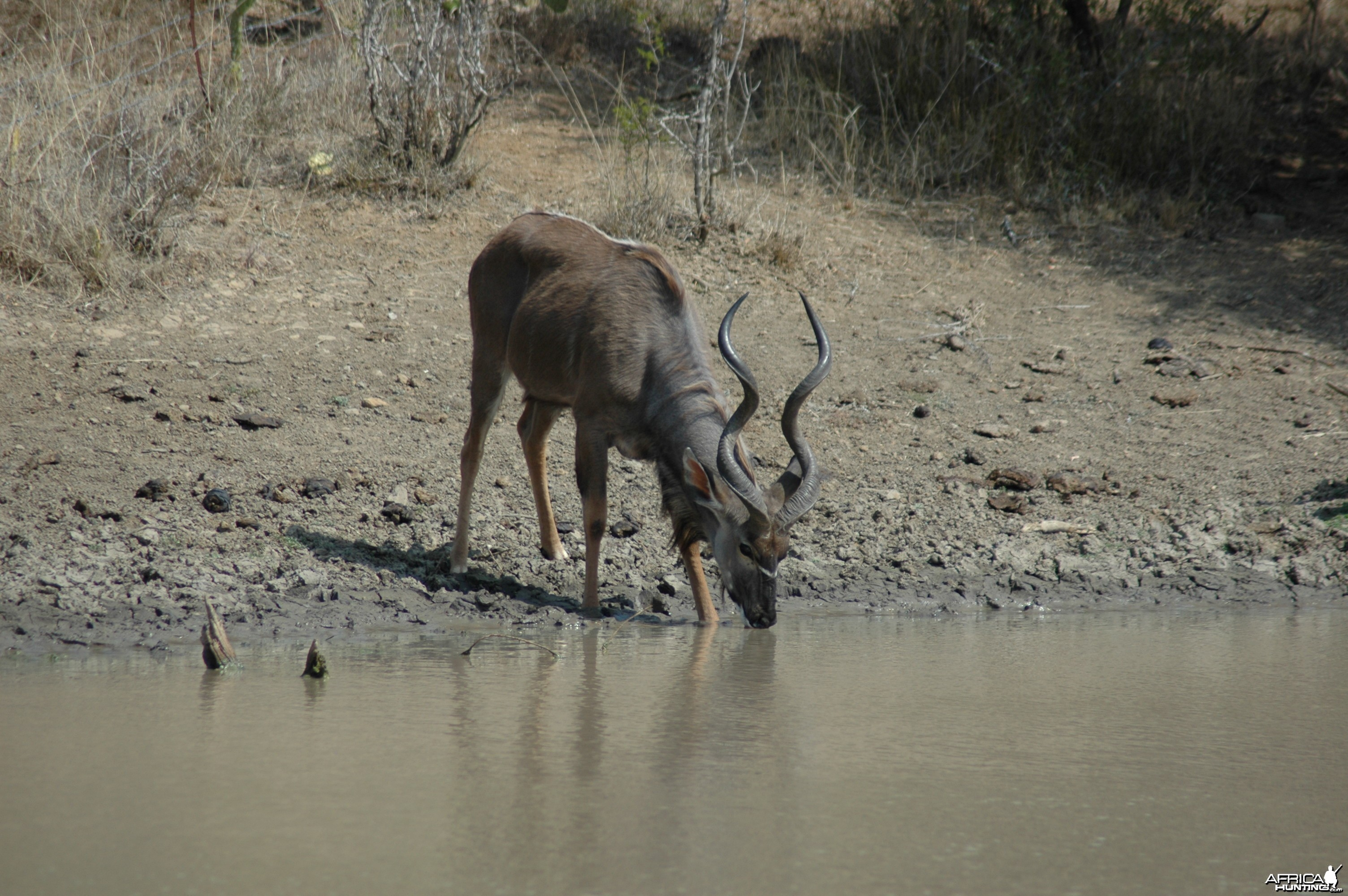 Kudu at pond, Eastern Cape, South Africa