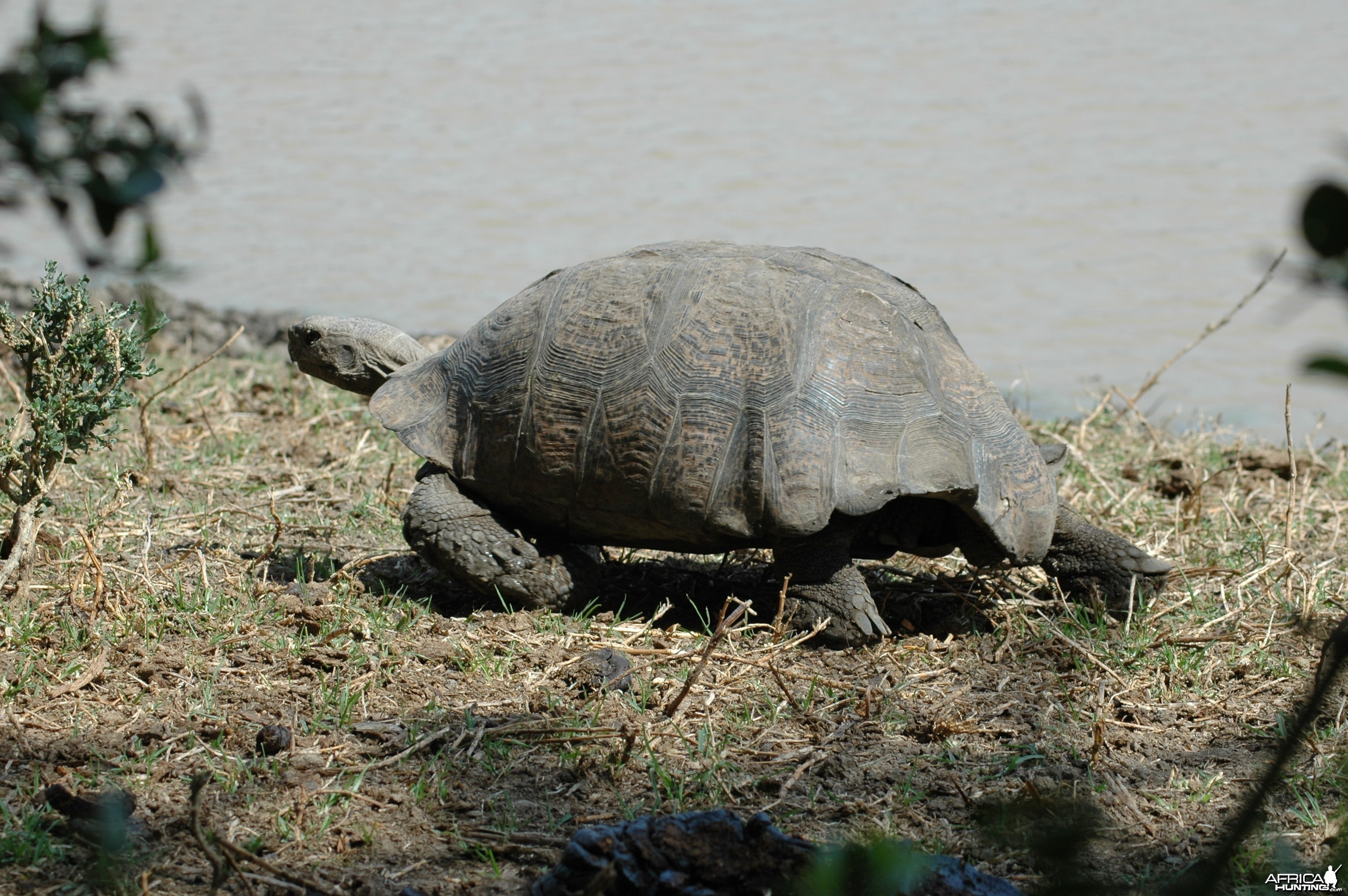 Tortise by pond, Eastern Cape, South Africa
