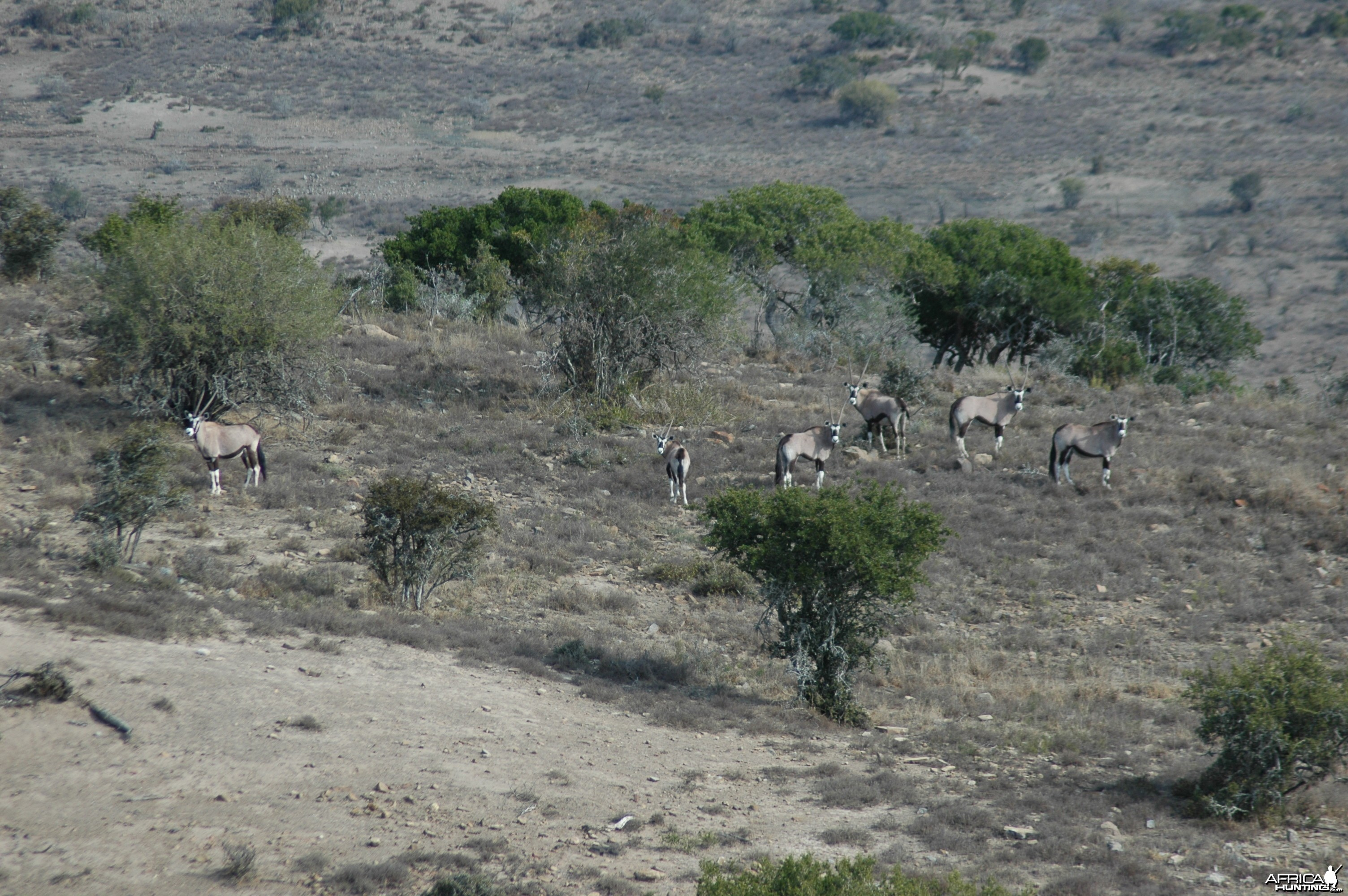 Gemsbok on Kat River Conservancy, South Africa