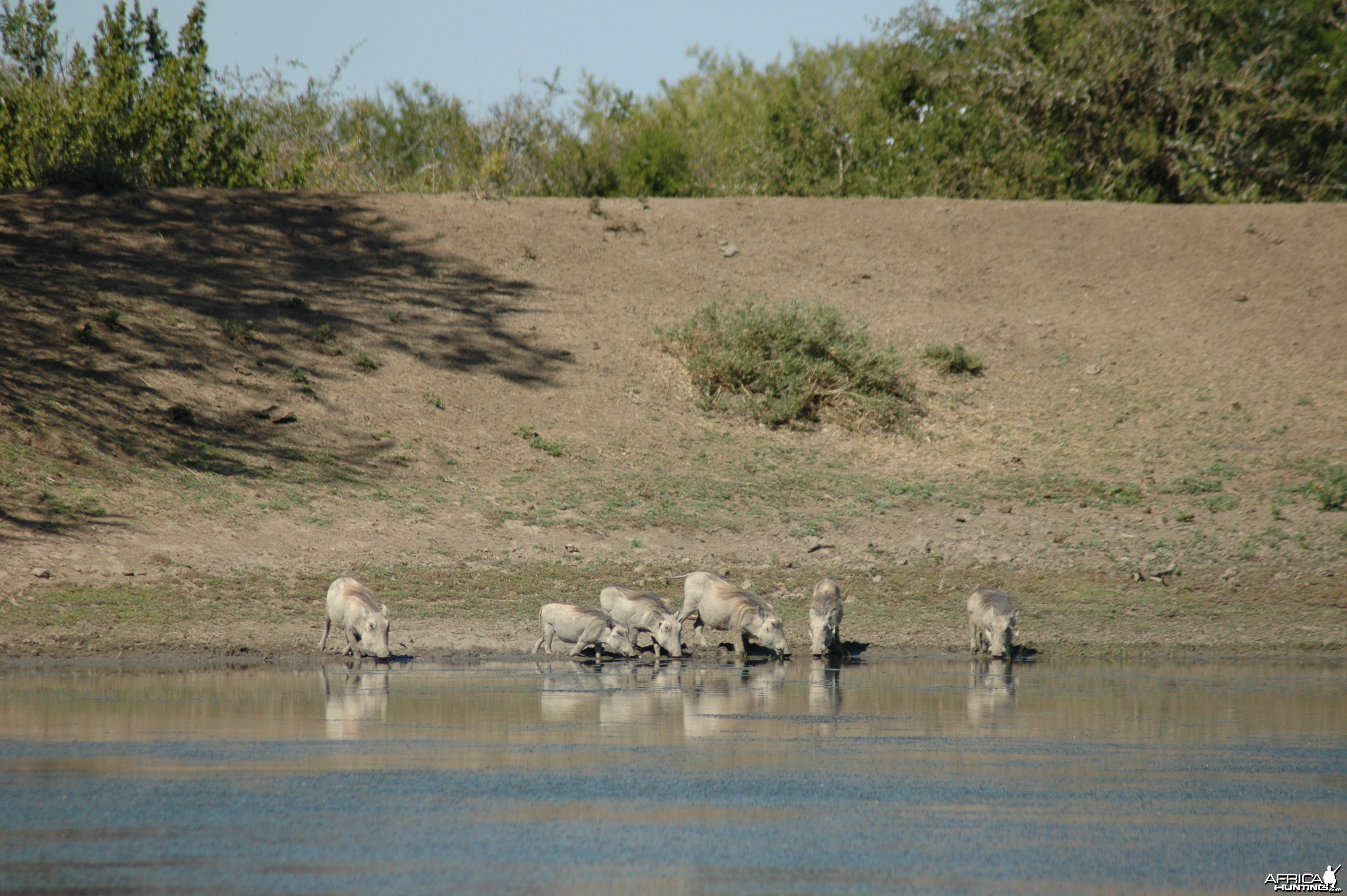 Warthogs at pond, Eastern Cape, South Africa