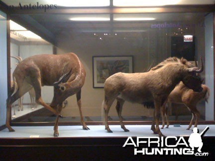 Taxidermy Black Wildebeest & Tsessebe