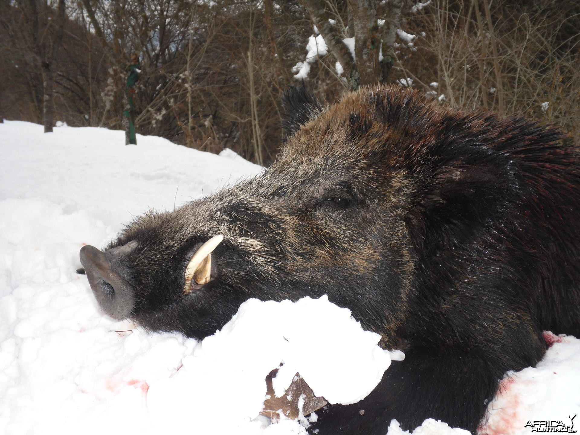 Boar hunt in Bulgaria