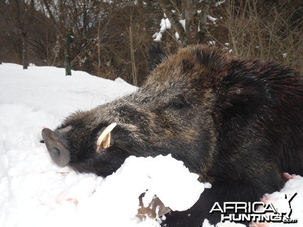 Boar hunt in Bulgaria