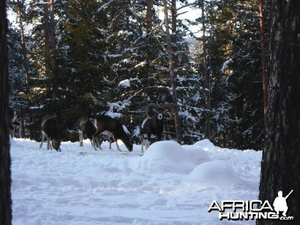Mouflon hunt in Bulgaria