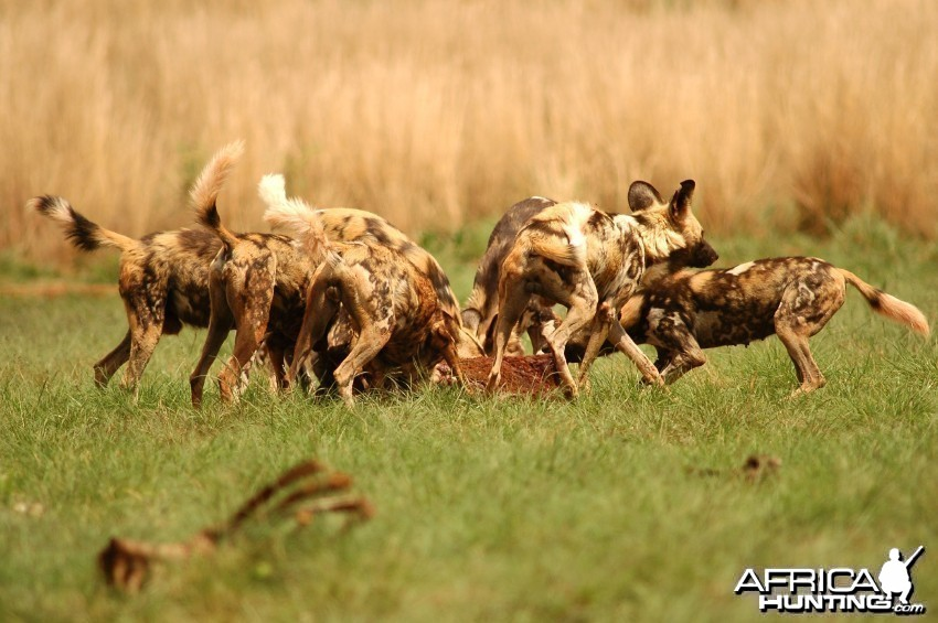 Pack of wild dogs in a feeding frenzy...