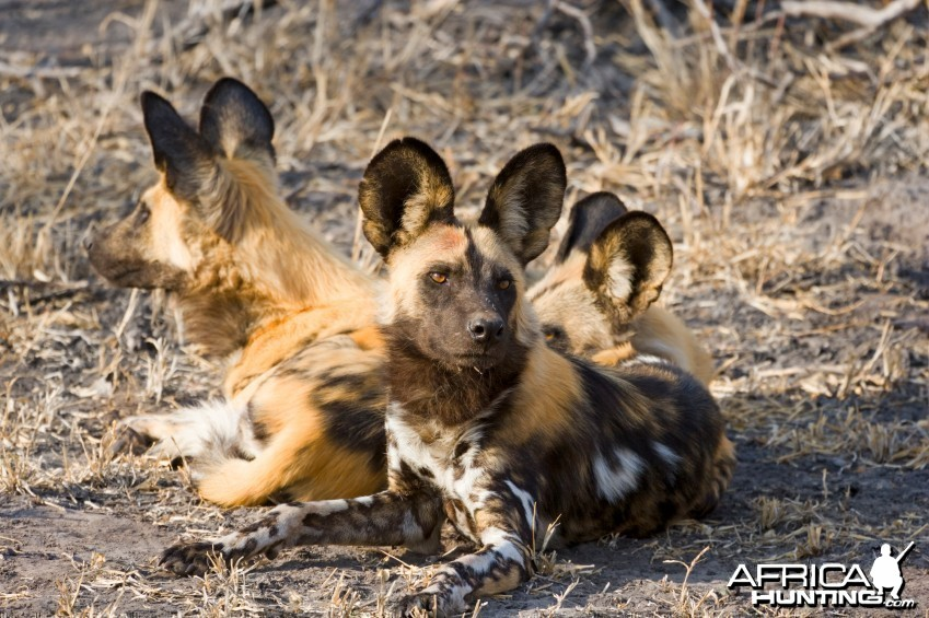Pack of African Wild Dog (Lycaon pictus)
