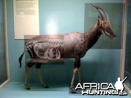 Taxidermy Blesbok