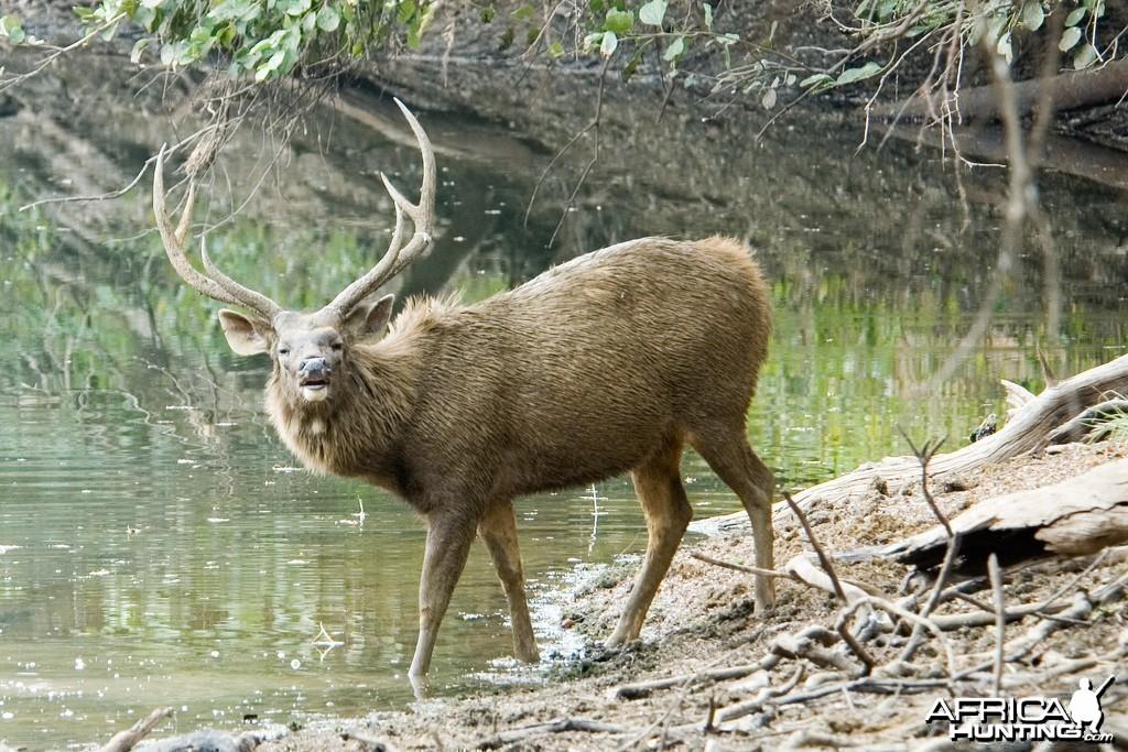 Sambar Deer (Cervus unicolor)