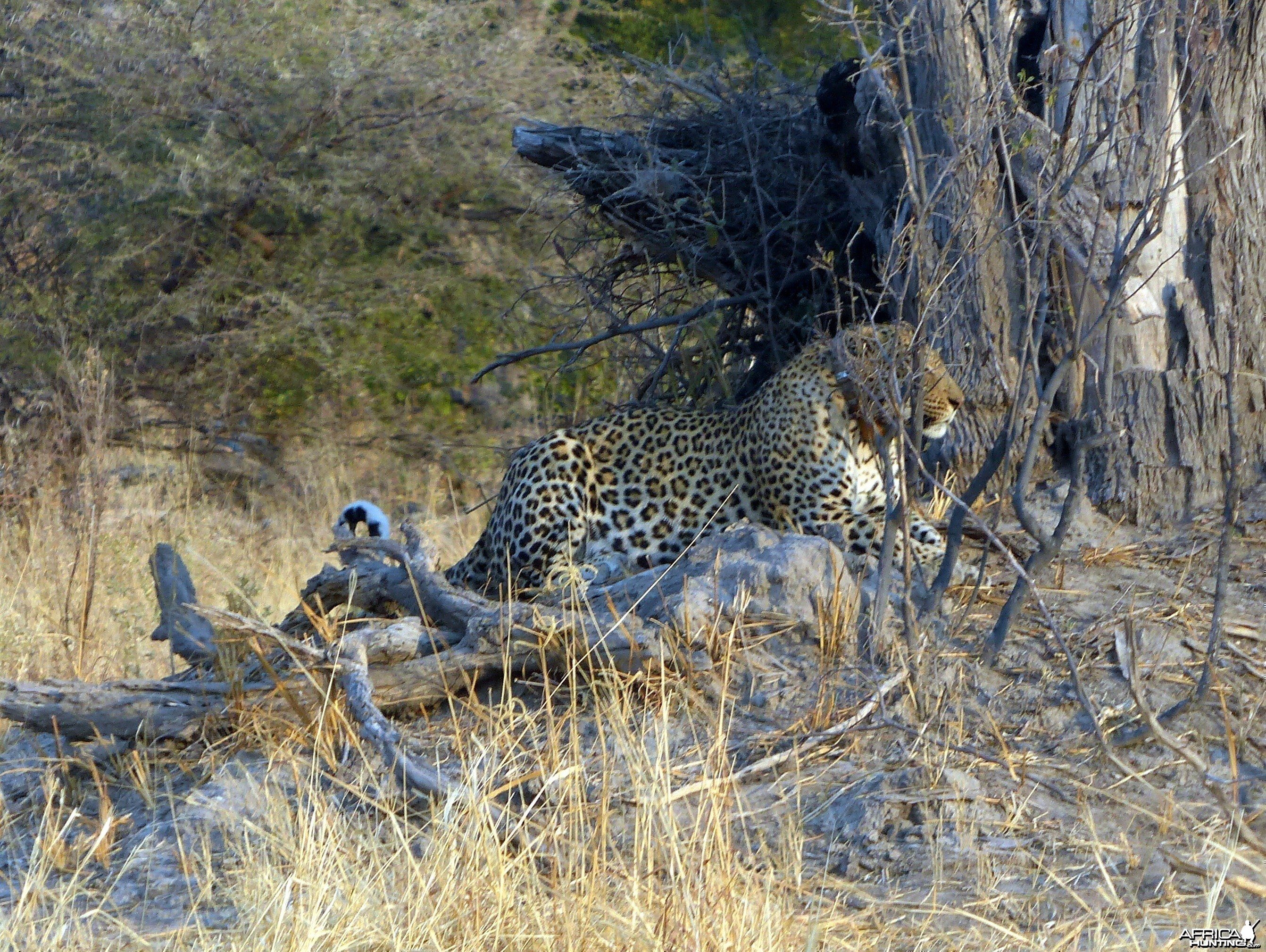 Daytime Leopard Sighting Botswana 2013