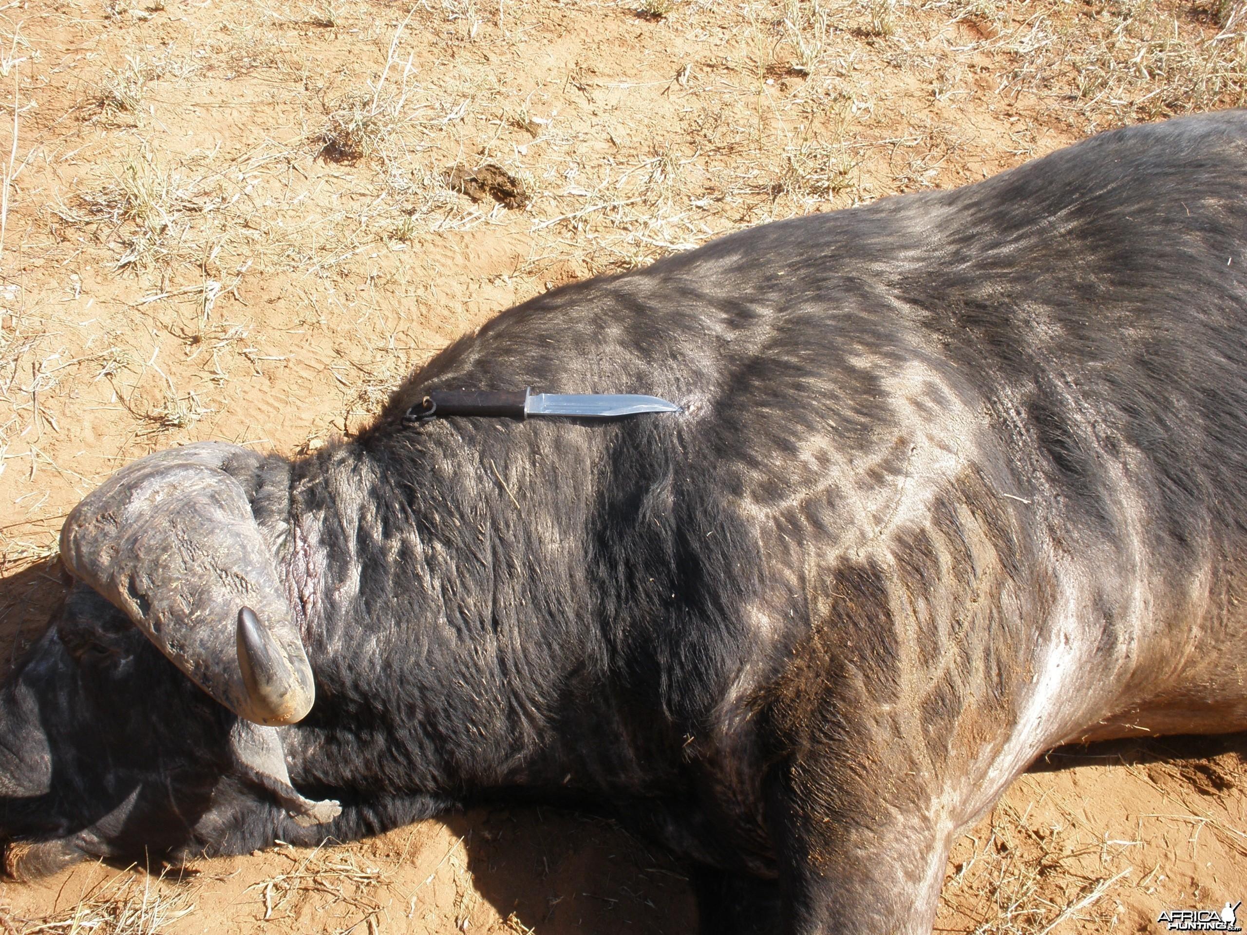 Old Buffalo bull