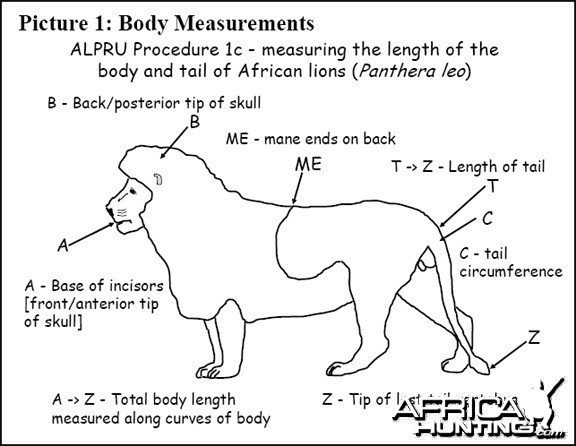 Lion Body Measurement -1