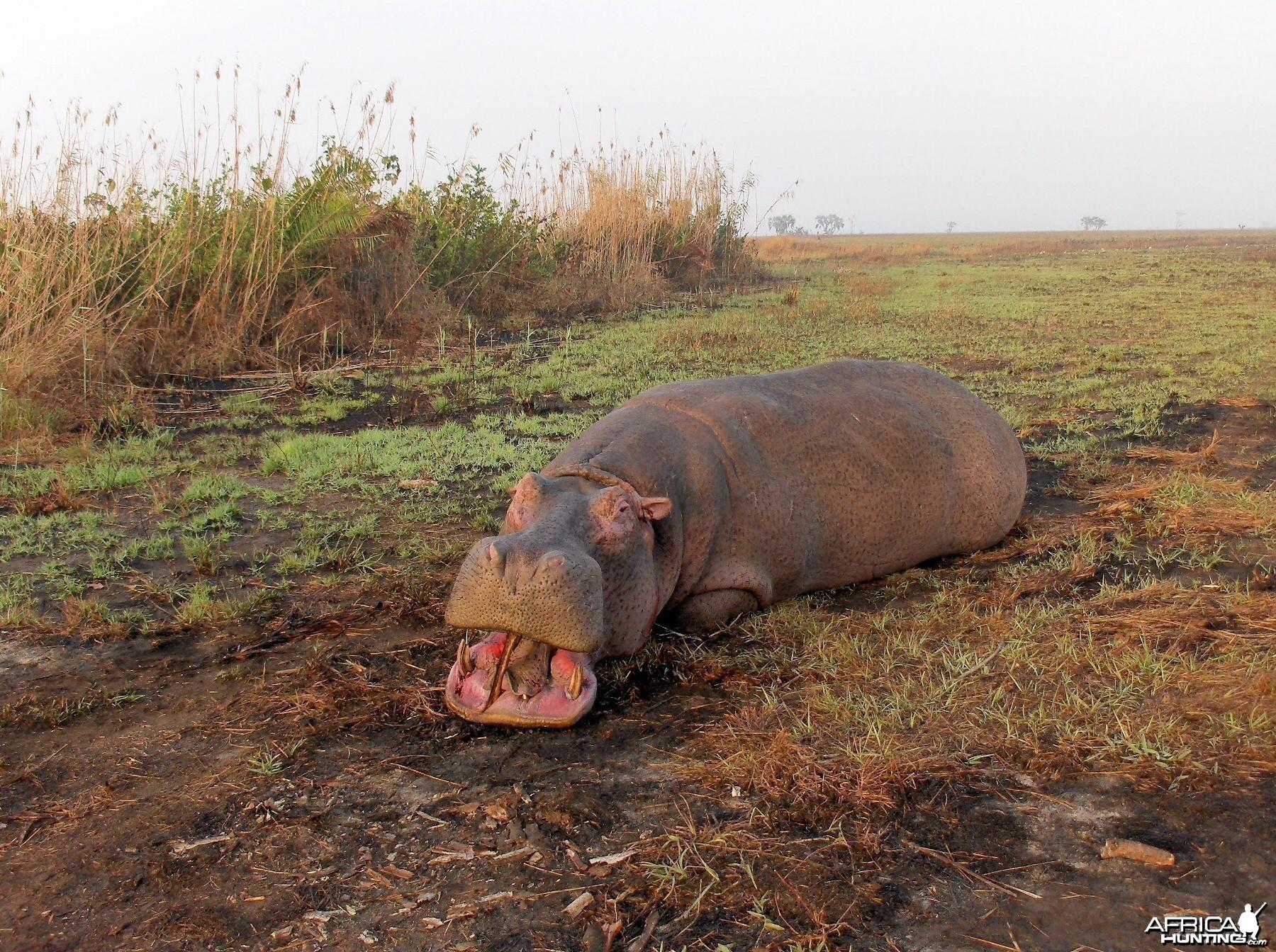mozambique hippo