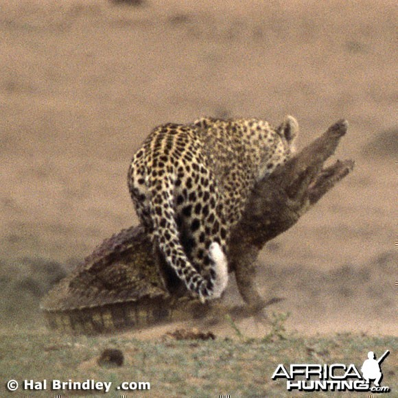 Leopard Attacking Crocodile