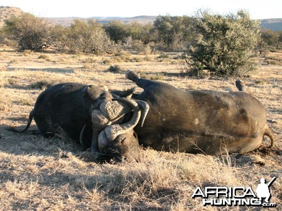 Two Cape Buffalo Die Fighting