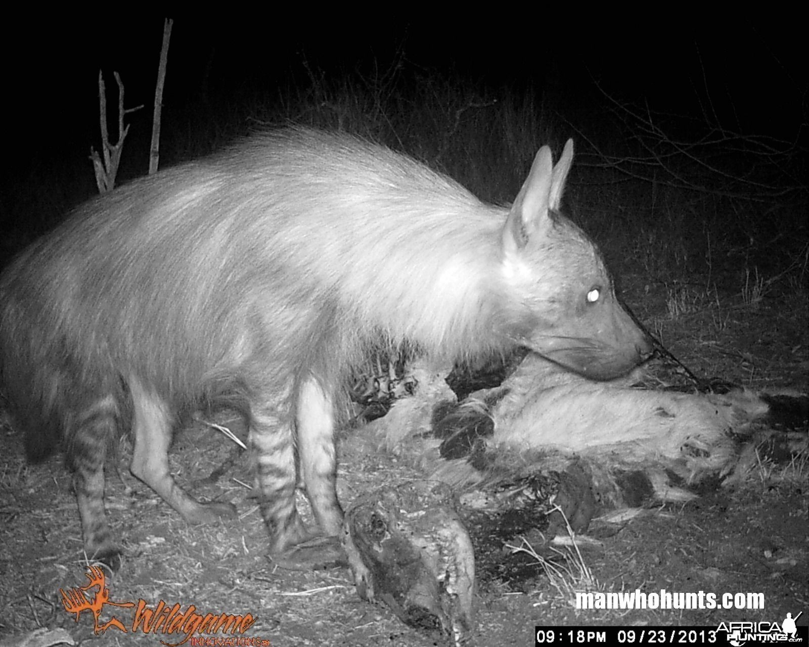 Borwn Hyena on trailcamera