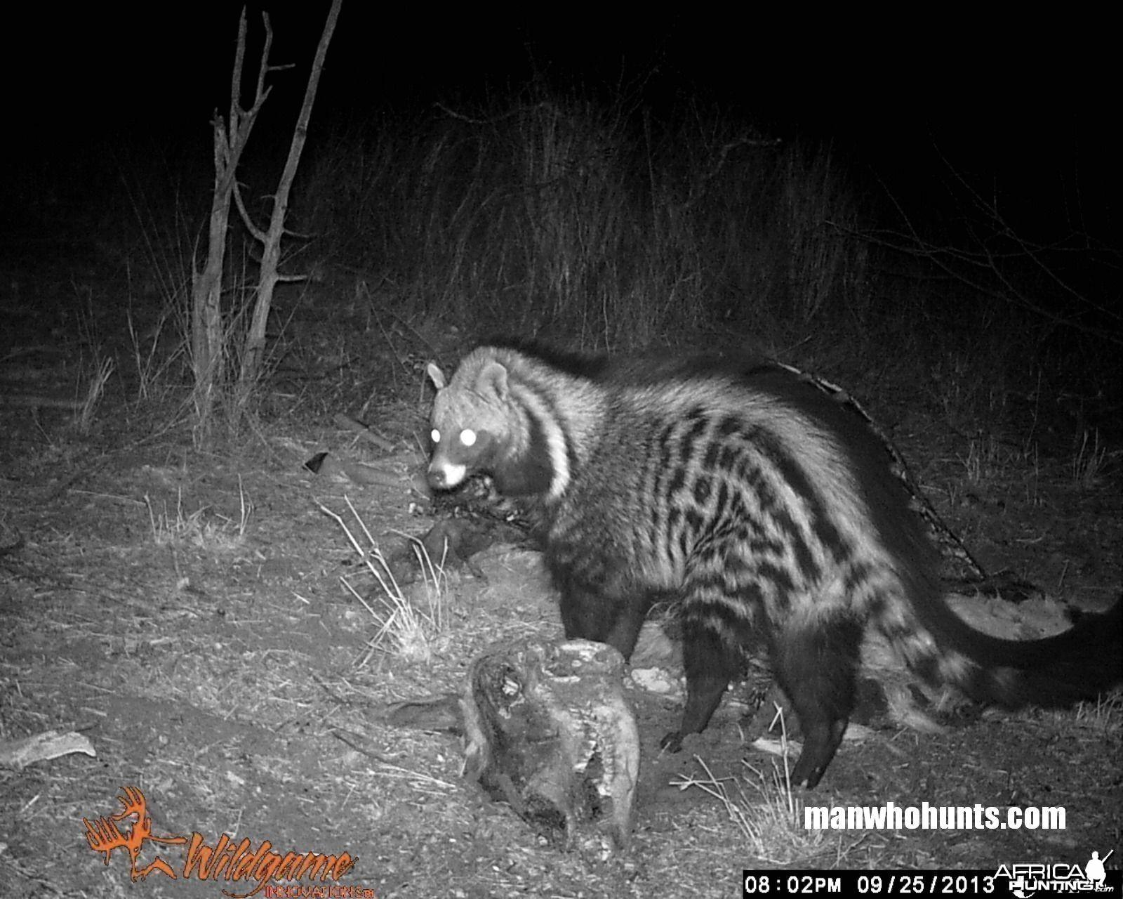 African Civet trailcamera