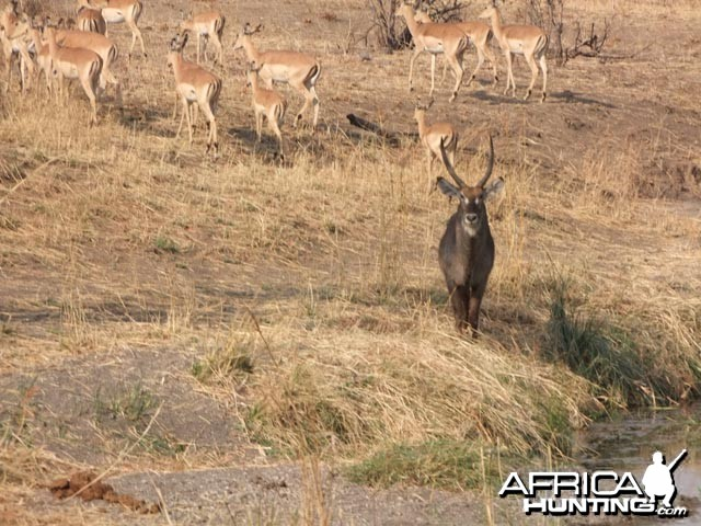 Waterbuck & Impala City