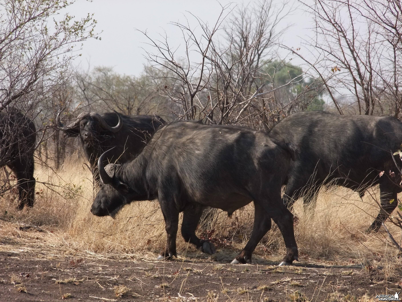 Hwange - Robins Camp Bulls