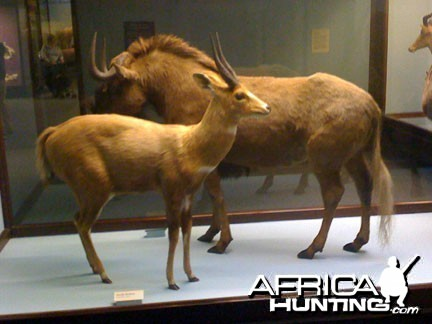 Taxidermy Bushbuck & Black Wildebeest