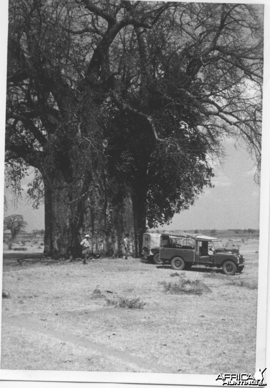 Enormous Baobab