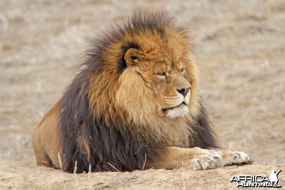 Masai, a rescued lion