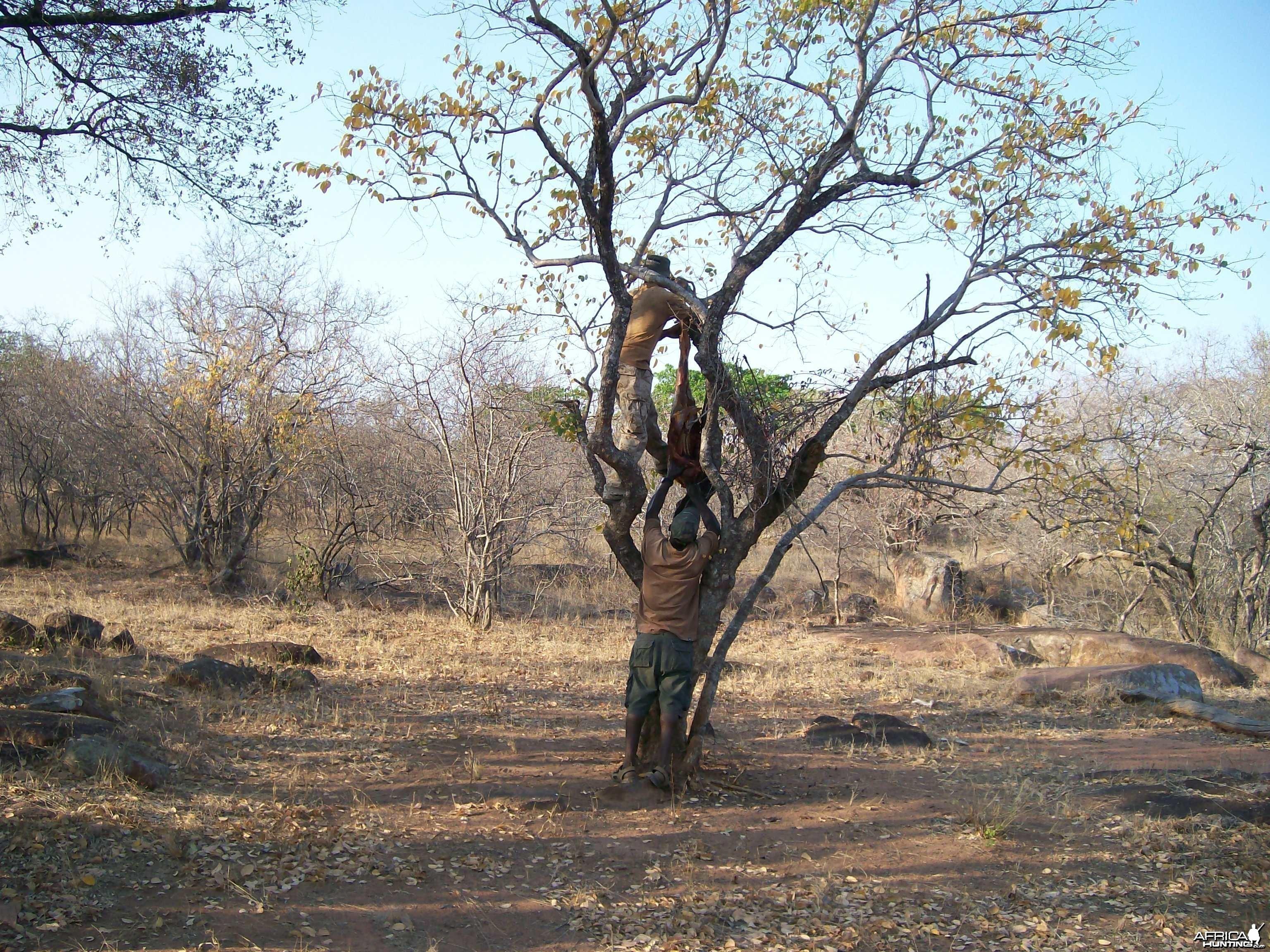 Hanging Leopard bait