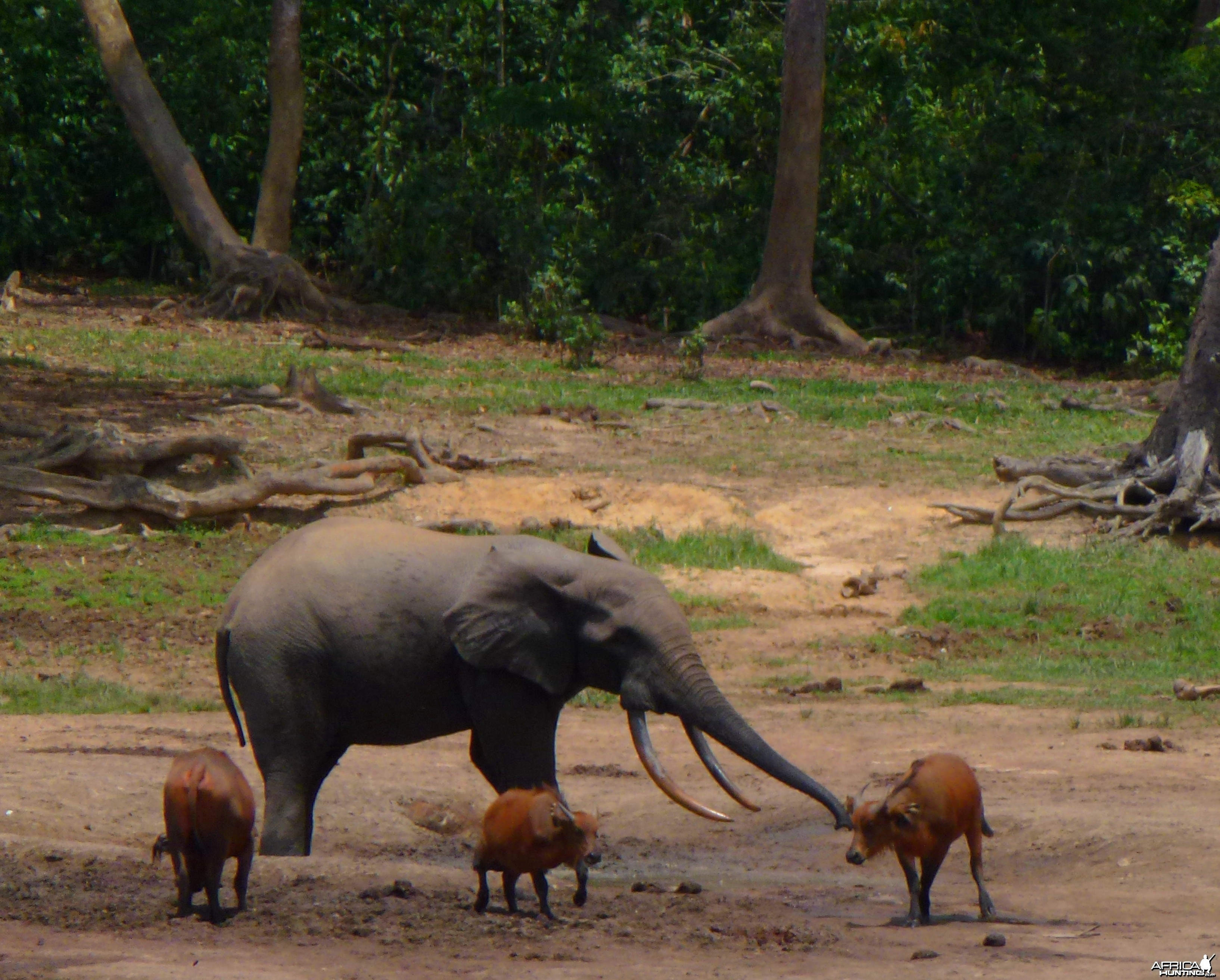 Forest Elephant and Buffalo