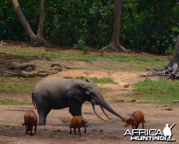 Forest Elephant and Buffalo