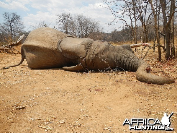 Fifth bull - Zimbabwe October 2013