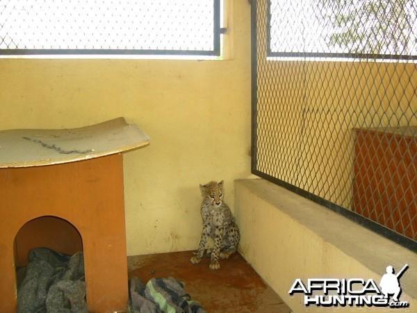 Rescued Baby Cheetah