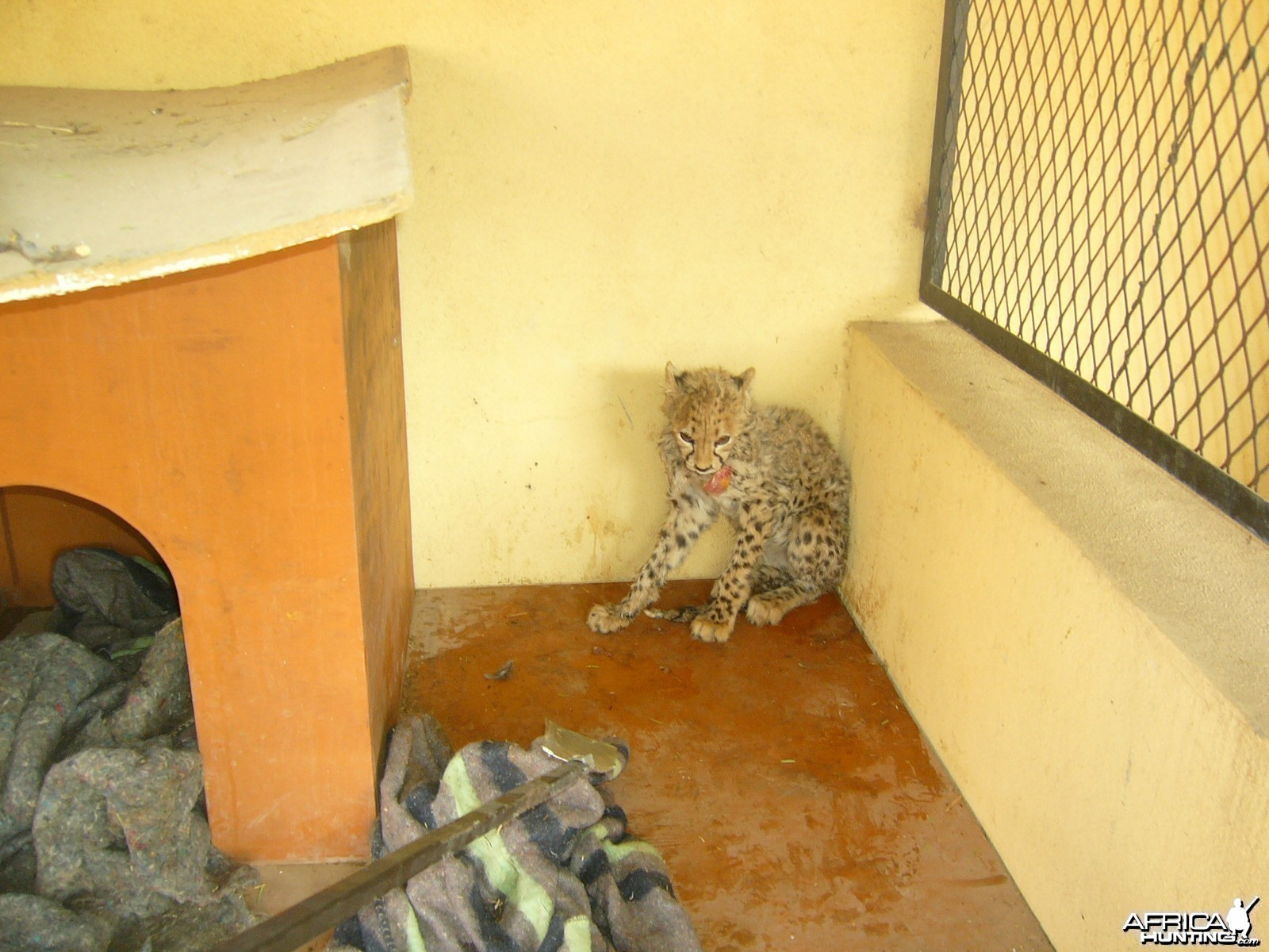 Rescued Baby Cheetah
