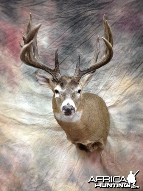 Taxidermy Whitetail