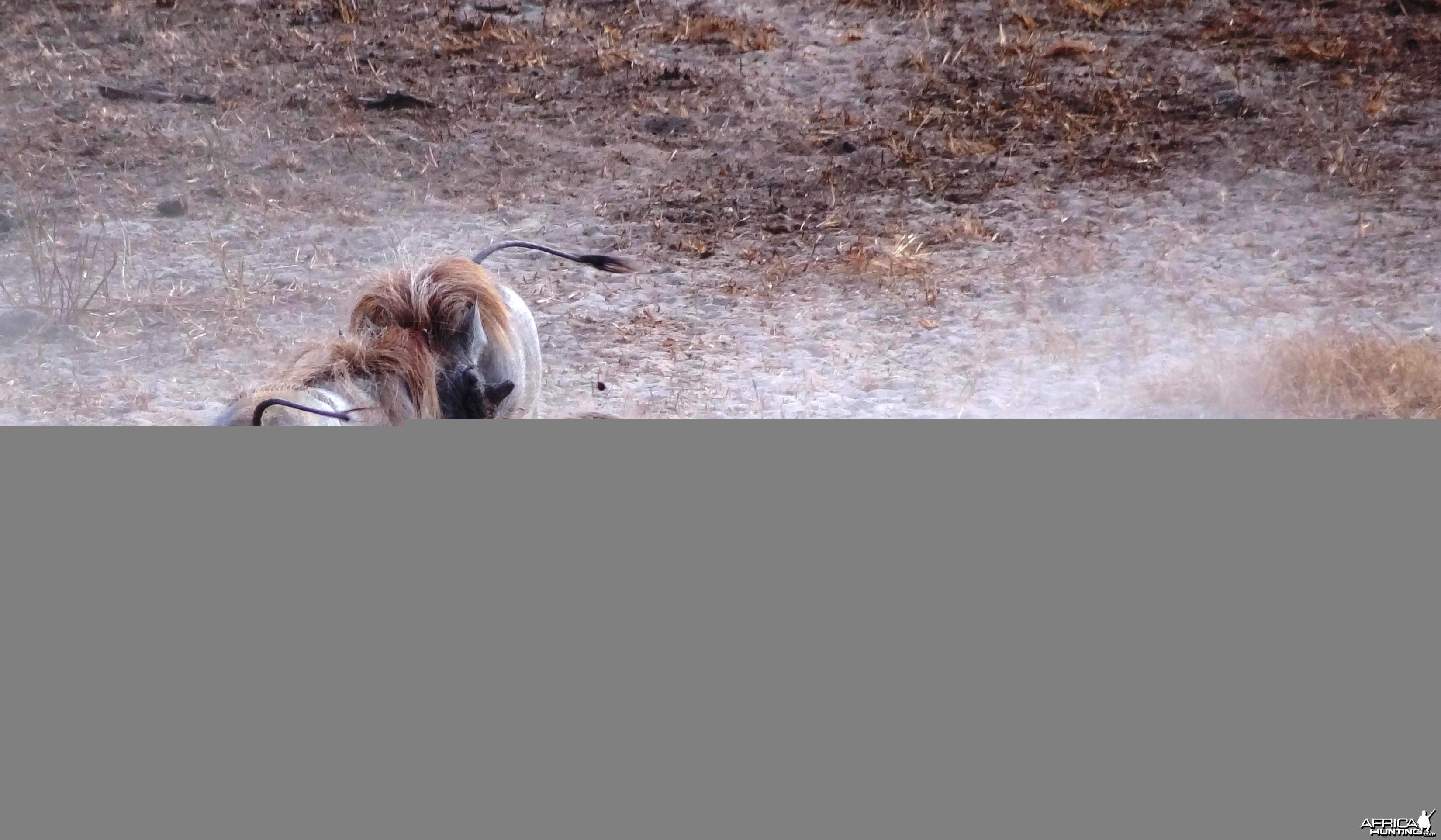 Warthog fight Tanzania