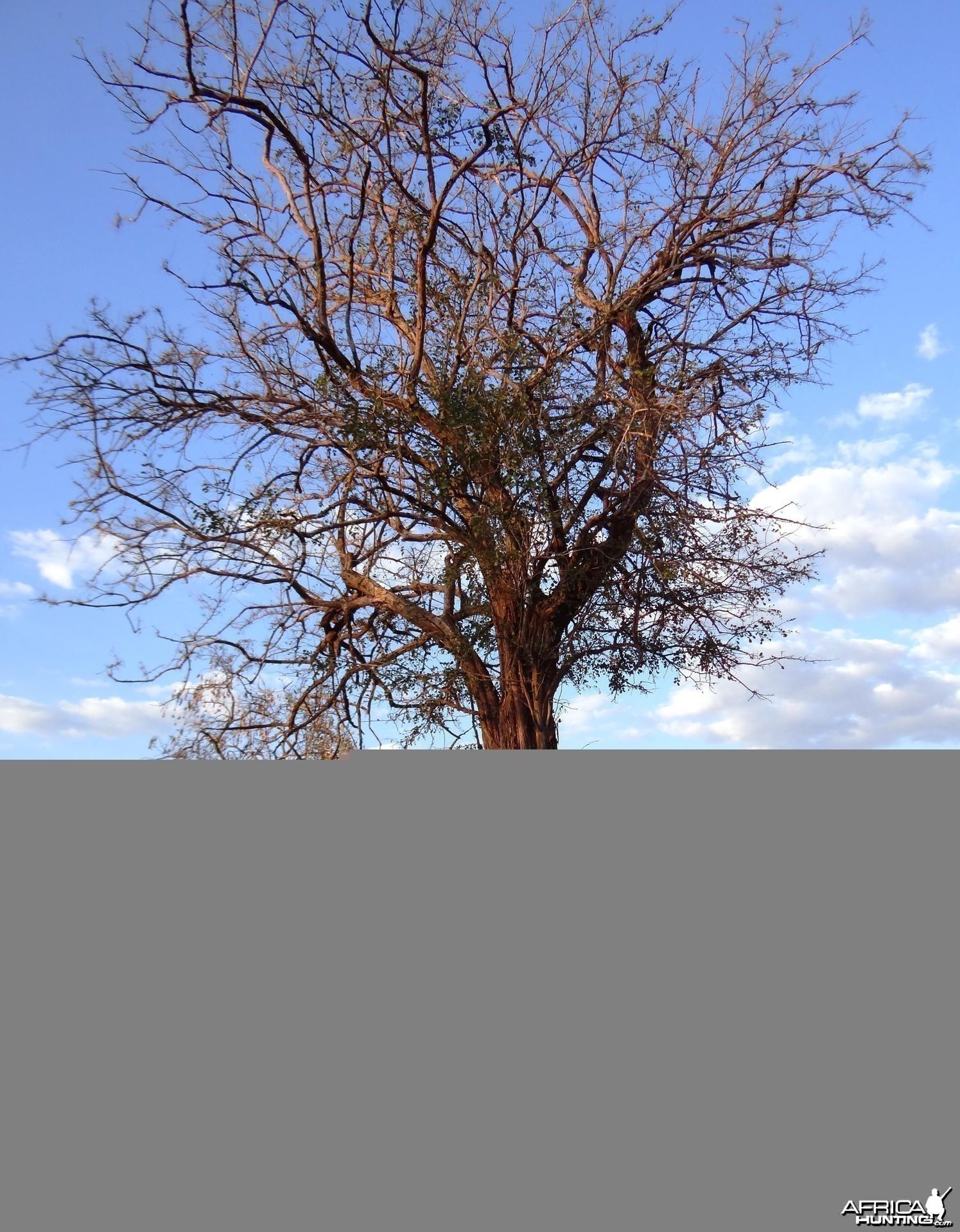 Ebony tree Tanzania