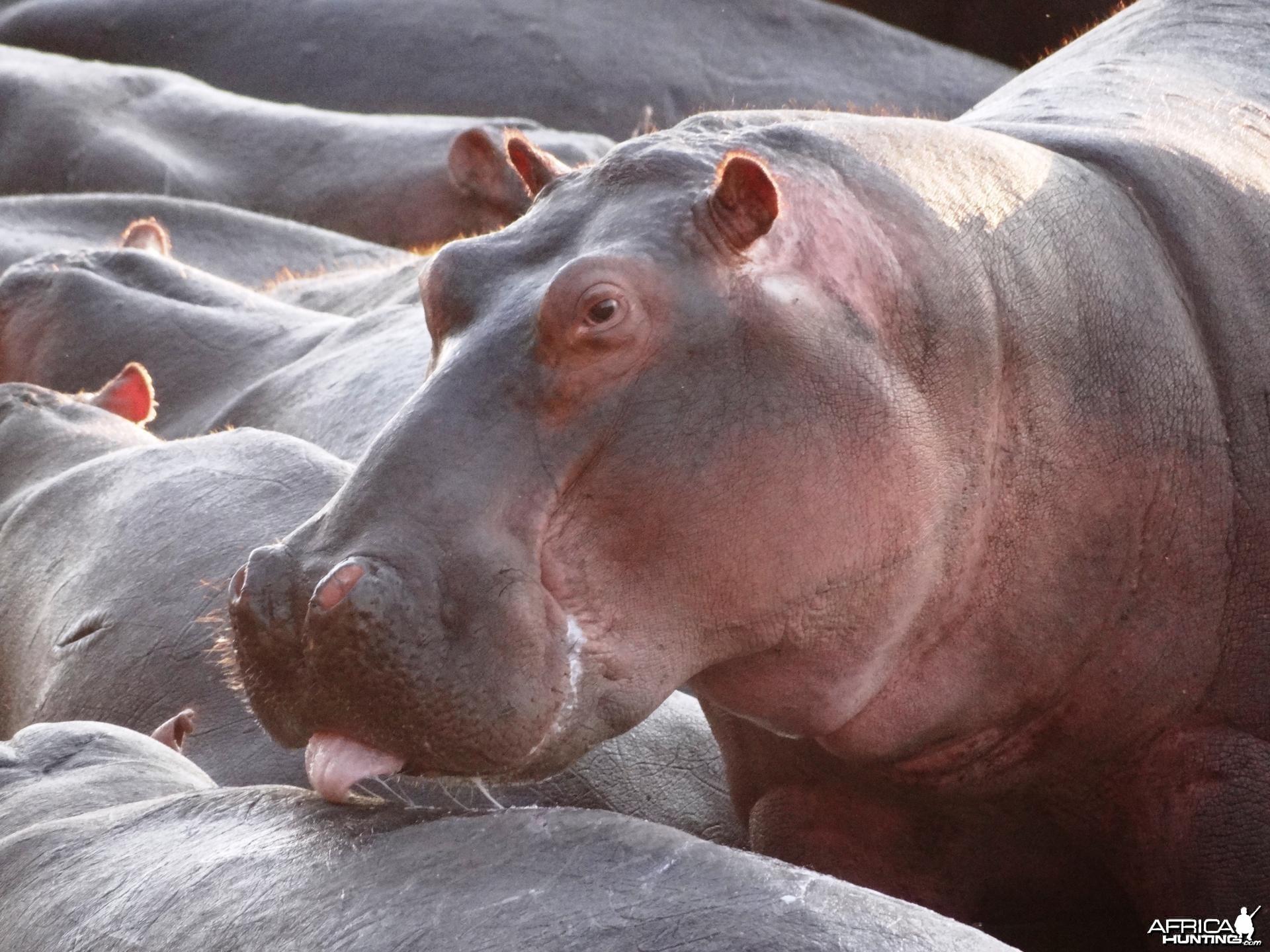 Hippo Tanzania