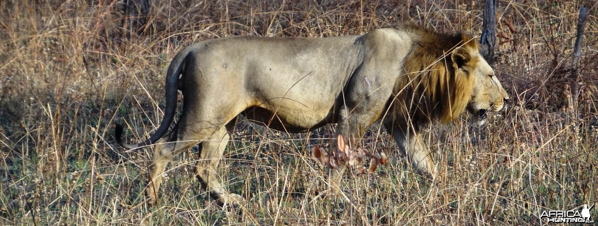 Lion Tanzania