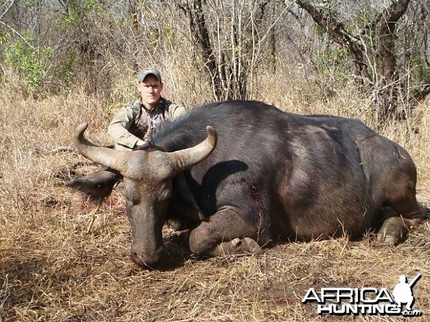 Cape Buffalo Cow South Africa