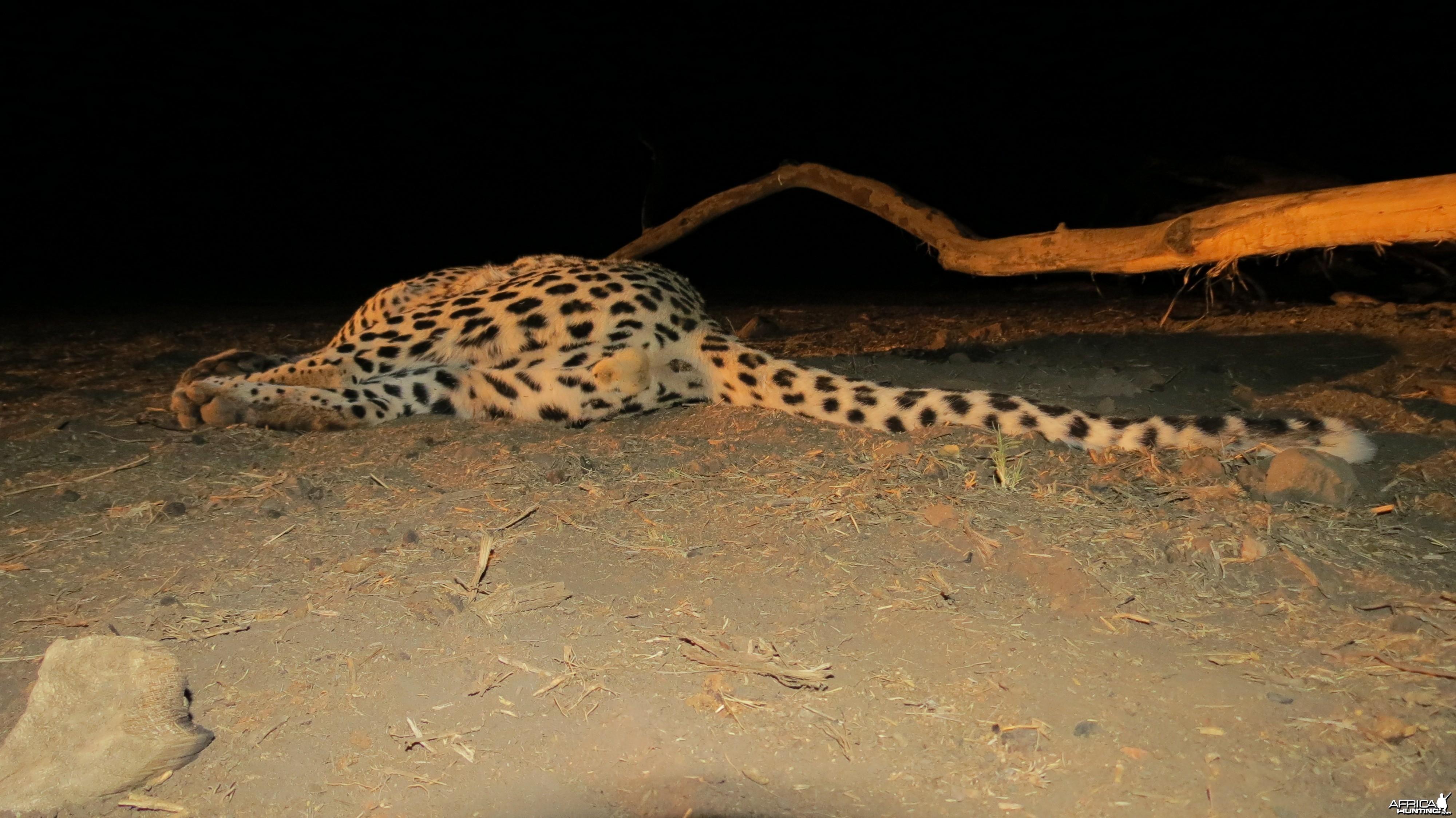 Male Leopard Genitals