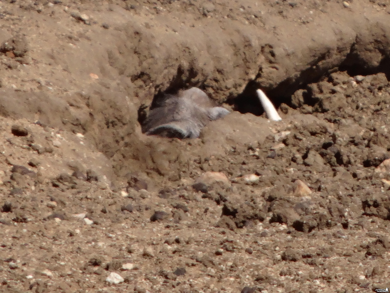 Warthog in hole Namibia