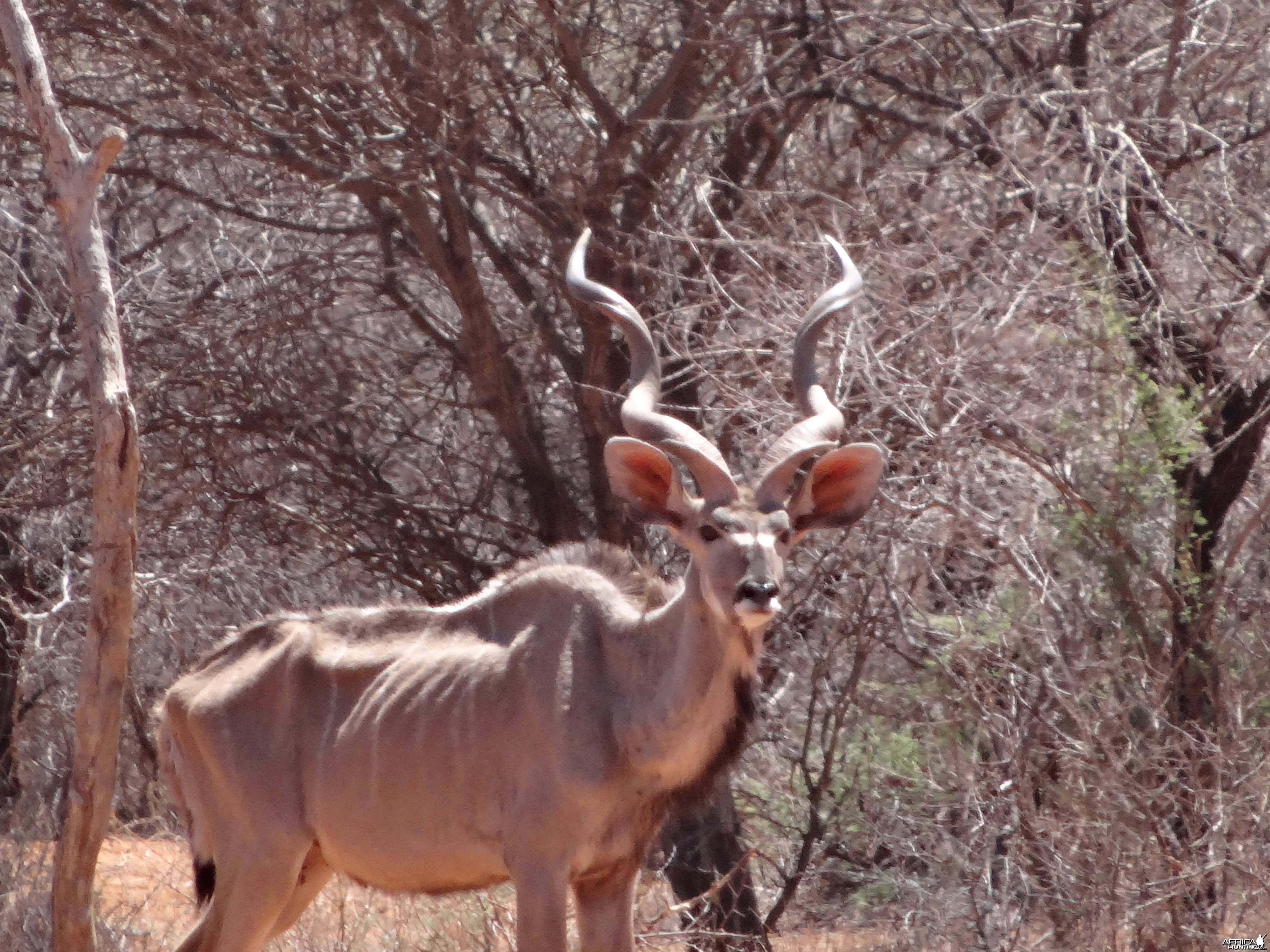 Greater Kudu Namibia